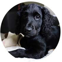 Cocker spaniel puppy home boarding