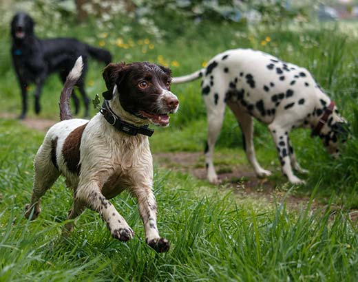 Dalmation and springer spaniel on a walk